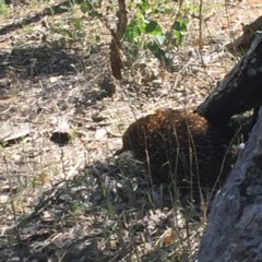 Tachyglossus aculeatus (Short-beaked Echidna) at Red Hill Nature Reserve - 6 Jan 2018 by JackyF