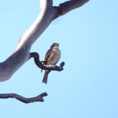 Cracticus torquatus (Grey Butcherbird) at Deakin, ACT - 15 Jan 2018 by JackyF