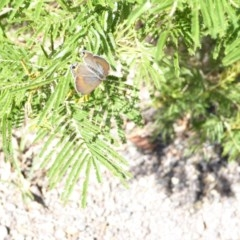 Jalmenus ictinus (Stencilled Hairstreak) at Red Hill Nature Reserve - 14 Jan 2018 by JackyF