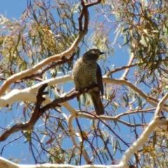 Ptilonorhynchus violaceus (Satin Bowerbird) at Aranda Bushland - 26 Jan 2014 by KMcCue