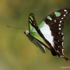 Graphium macleayanum (Macleay's Swallowtail) at ANBG - 16 Jan 2018 by DPRees125