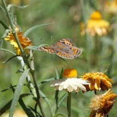 Junonia villida (Meadow Argus) at ANBG - 18 Jan 2018 by DPRees125