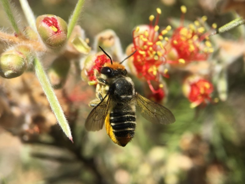 Megachile (Eutricharaea) maculariformis at ANBG - 19 Jan 2018