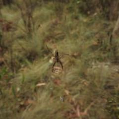 Plebs bradleyi (Enamelled Spider) at Bimberi Nature Reserve - 21 Jan 2018 by Qwerty
