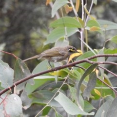 Caligavis chrysops (Yellow-faced Honeyeater) at Namadgi National Park - 21 Jan 2018 by Qwerty