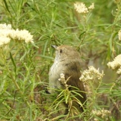 Acanthiza pusilla (Brown Thornbill) at Namadgi National Park - 21 Jan 2018 by Qwerty