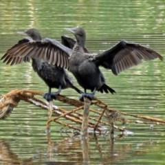 Phalacrocorax sulcirostris (Little Black Cormorant) at Isabella Plains, ACT - 22 Jan 2018 by RodDeb