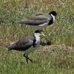 Vanellus miles (Masked Lapwing) at Isabella Plains, ACT - 21 Jan 2018 by RodDeb