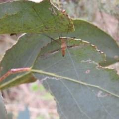 Leptotarsus (Macromastix) costalis (Common Brown Crane Fly) at Brindabella, NSW - 22 Jan 2018 by Qwerty