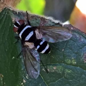 Trigonospila sp. (genus) at Wandiyali-Environa Conservation Area - 21 Jan 2018