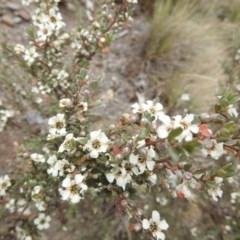 Leptospermum sp. (Tea tree) at Brindabella, NSW - 22 Jan 2018 by Qwerty