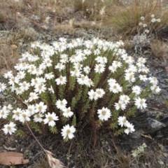 Rhodanthe anthemoides (Chamomile Sunray) at Brindabella, NSW - 22 Jan 2018 by Qwerty