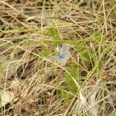Zizina otis (Common Grass-Blue) at Brindabella, NSW - 22 Jan 2018 by Qwerty