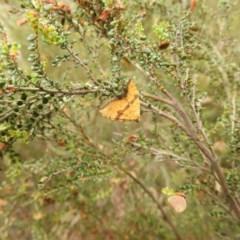 Chrysolarentia polyxantha (Yellow Carpet Moth) at Brindabella, NSW - 22 Jan 2018 by Qwerty