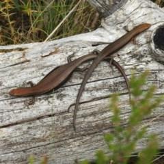 Pseudemoia entrecasteauxii (Woodland Tussock-skink) at Brindabella, NSW - 22 Jan 2018 by Qwerty
