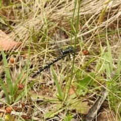 Eusynthemis guttata (Southern Tigertail) at Brindabella, NSW - 22 Jan 2018 by Qwerty