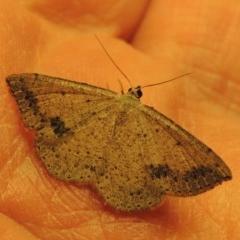 Taxeotis intextata (Looper Moth, Grey Taxeotis) at Greenway, ACT - 7 Dec 2017 by michaelb