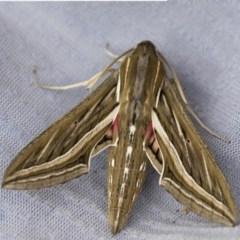 Hippotion celerio (Vine Hawk Moth) at Higgins, ACT - 23 Jan 2018 by Alison Milton