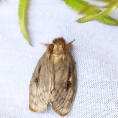 Leptocneria reducta (White cedar moth) at Higgins, ACT - 24 Jan 2018 by Alison Milton