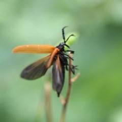 Porrostoma rhipidium (Long-nosed Lycid (Net-winged) beetle) at Higgins, ACT - 22 Jan 2018 by Alison Milton