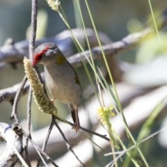 Neochmia temporalis (Red-browed Finch) at Jerrabomberra Wetlands - 6 Dec 2017 by Alison Milton