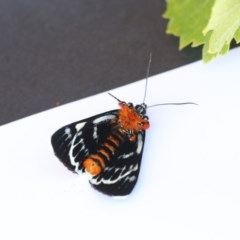 Phalaenoides glycinae (Grapevine Moth) at Higgins, ACT - 20 Jan 2018 by Alison Milton