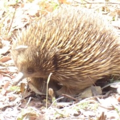 Tachyglossus aculeatus (Short-beaked Echidna) at Red Hill Nature Reserve - 25 Jan 2018 by JackyF