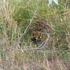 Vulpes vulpes (Red Fox) at Aranda Bushland - 26 Mar 2016 by KMcCue