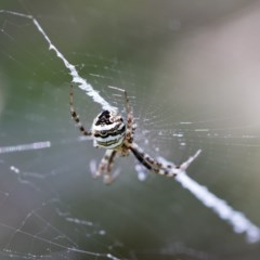 Argiope trifasciata (Banded orb weaver) at Higgins, ACT - 25 Jan 2018 by AlisonMilton