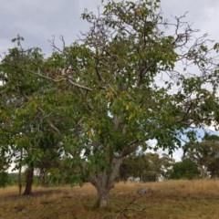 Juglans sp. (genus) (Walnut) at Griffith Woodland - 26 Jan 2018 by ianandlibby1