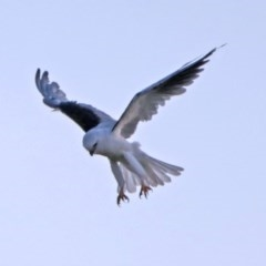 Elanus axillaris (Black-shouldered Kite) at Jerrabomberra Wetlands - 25 Jan 2018 by RodDeb