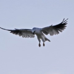 Elanus axillaris at Jerrabomberra Wetlands - 25 Jan 2018