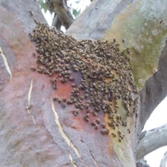 Apis mellifera (European honey bee) at Hughes Grassy Woodland - 28 Dec 2017 by JackyF