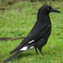 Strepera graculina (Pied Currawong) at ANBG - 6 Nov 2009 by KMcCue