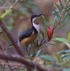 Acanthorhynchus tenuirostris (Eastern Spinebill) at ANBG - 20 Sep 2010 by KMcCue