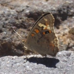 Junonia villida (Meadow Argus) at Cotter Reserve - 17 Jan 2018 by Christine