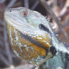 Intellagama lesueurii (Eastern Water Dragon) at Cotter Reserve - 17 Jan 2018 by Christine