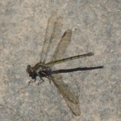 Diphlebia nymphoides (Arrowhead Rockmaster) at Cotter Reserve - 17 Jan 2018 by Christine