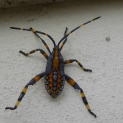 Amorbus sp. (genus) (Tip bug) at Flynn, ACT - 21 Jan 2018 by Christine