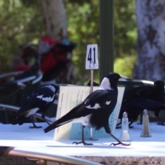 Gymnorhina tibicen (Australian Magpie) at ANBG - 3 Mar 2010 by KMcCue