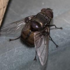 Rutilia sp. (genus) (A Rutilia bristle fly, subgenus unknown) at Higgins, ACT - 27 Jan 2018 by AlisonMilton