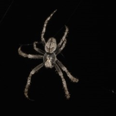 Eriophora transmarina (Garden orb weaver) at Higgins, ACT - 27 Jan 2018 by Alison Milton
