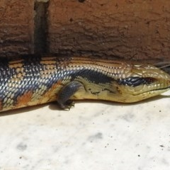 Tiliqua scincoides (Eastern Blue-tongue) at Macarthur, ACT - 19 Nov 2017 by RodDeb
