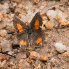 Paralucia aurifer (Bright Copper) at Tidbinbilla Nature Reserve - 24 Jan 2018 by SWishart