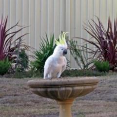 Cacatua galerita (Sulphur-crested Cockatoo) at Macarthur, ACT - 23 Feb 2017 by RodDeb