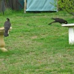 Zanda funereus (Yellow-tailed Black-Cockatoo) at Macarthur, ACT - 25 Sep 2005 by RodDeb