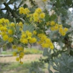 Acacia baileyana (Cootamundra Wattle, Golden Mimosa) at Wamboin, NSW - 27 Sep 2010 by natureguy
