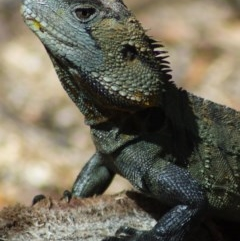 Intellagama lesueurii howittii (Gippsland Water Dragon) at Canberra Central, ACT - 17 Jan 2012 by KMcCue