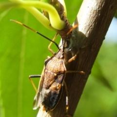 Poecilometis strigatus (Gum Tree Shield Bug) at Aranda, ACT - 5 Mar 2012 by KMcCue