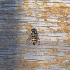 Melangyna viridiceps (Hover fly) at Molonglo Valley, ACT - 28 Jan 2018 by RodDeb